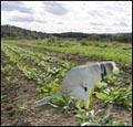 contaminated lettuce