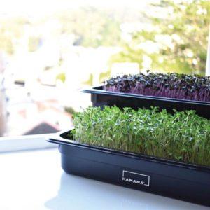 hamama indoor micro greens